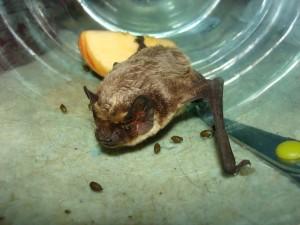 залетела летучая мышь в квартиру